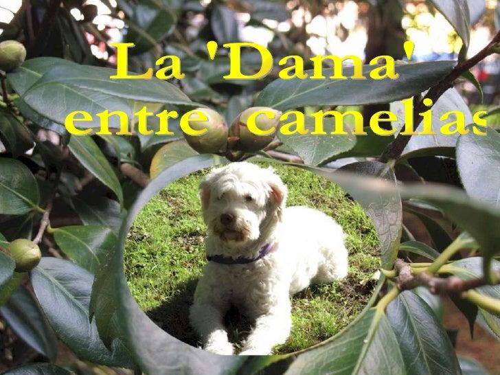 La 'Dama' entre  camelias