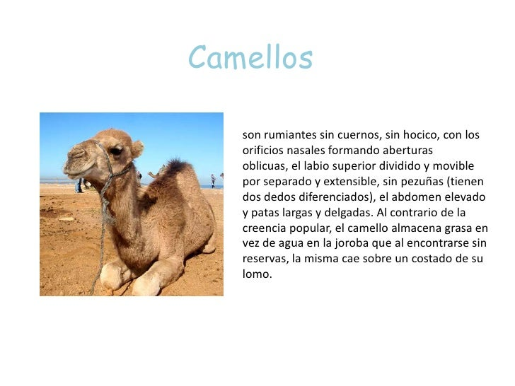 Camellos<br />son rumiantes sin cuernos, sin hocico, con los orificios nasales formando aberturas oblicuas, el labio super...