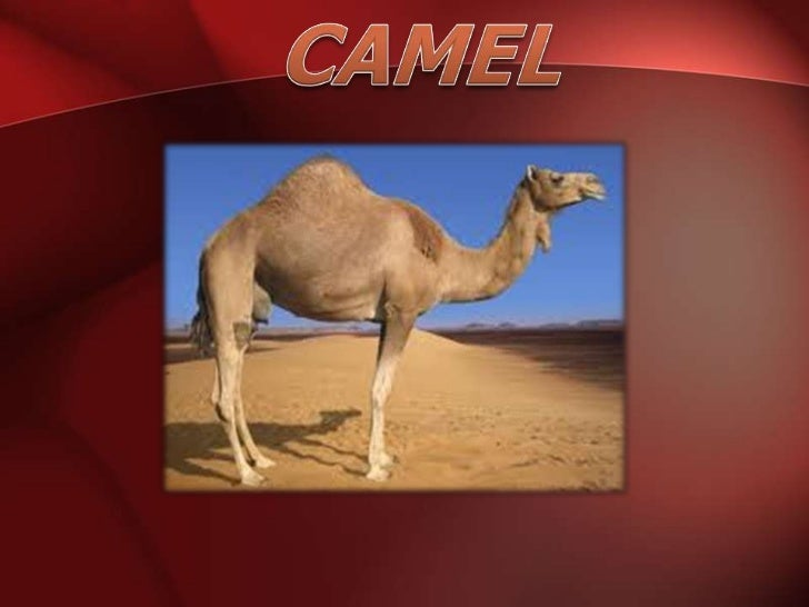 The camel is a large, strong desert animal.           Camels can travel great distances across hot, dry deserts with    ...