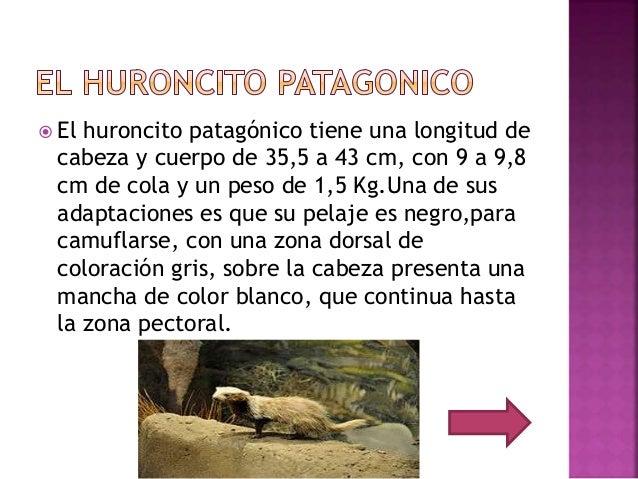  El huroncito patagónico tiene una longitud de cabeza y cuerpo de 35,5 a 43 cm, con 9 a 9,8 cm de cola y un peso de 1,5 K...