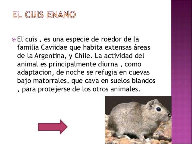  El cuis , es una especie de roedor de la familia Caviidae que habita extensas áreas de la Argentina, y Chile. La activid...