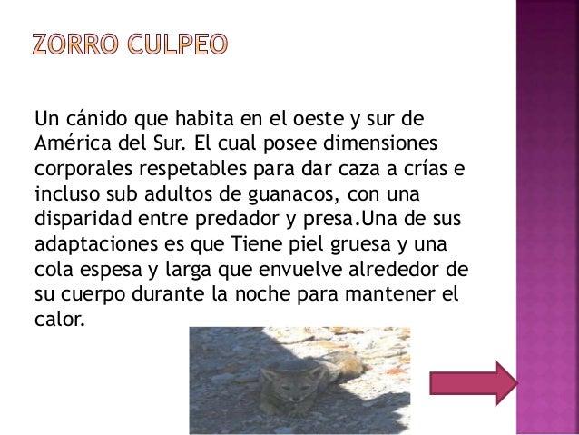 Un cánido que habita en el oeste y sur de América del Sur. El cual posee dimensiones corporales respetables para dar caza ...