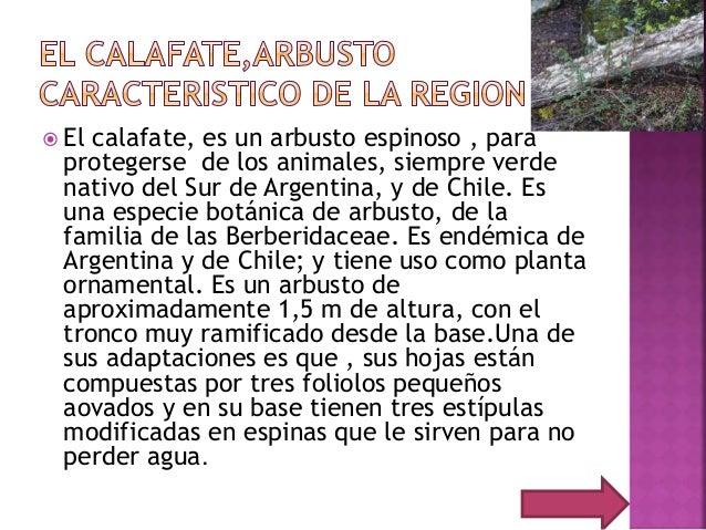  El calafate, es un arbusto espinoso , para protegerse de los animales, siempre verde nativo del Sur de Argentina, y de C...