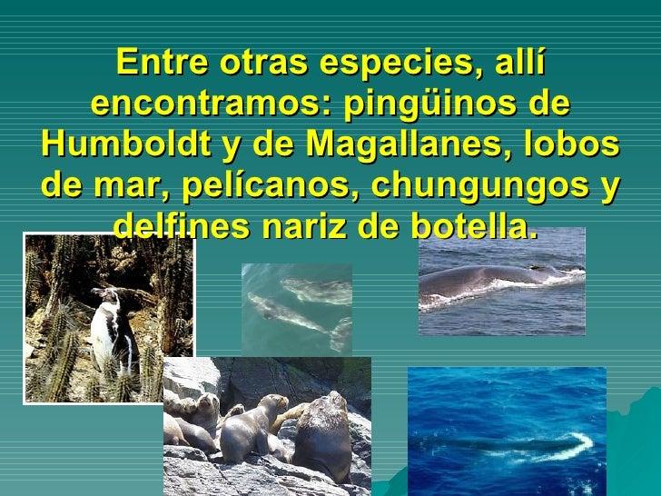 Entre otras especies, allí encontramos: pingüinos de Humboldt y de Magallanes, lobos de mar, pelícanos, chungungos y delfi...