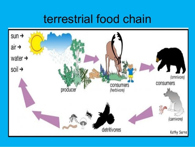 what is a terrestrial food chain