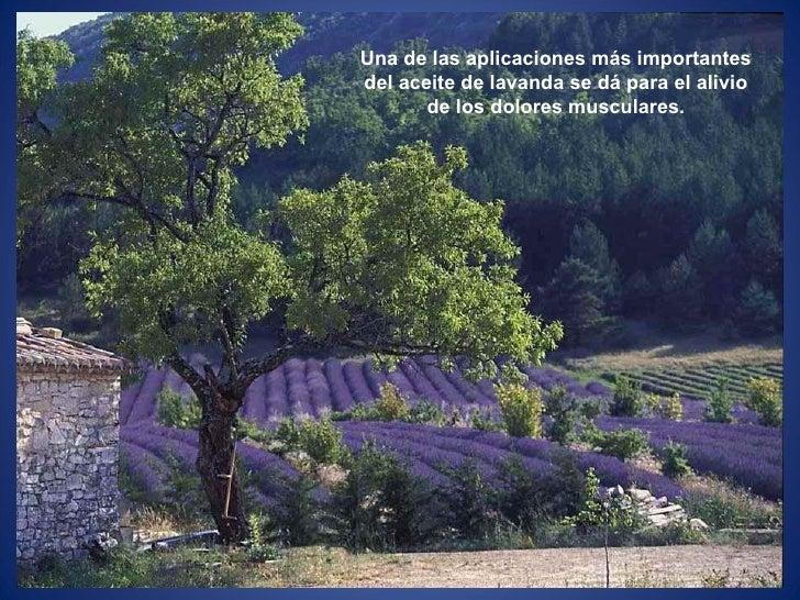 Una de las aplicaciones más importantes del aceite de lavanda se dá para el alivio de los dolores musculares.