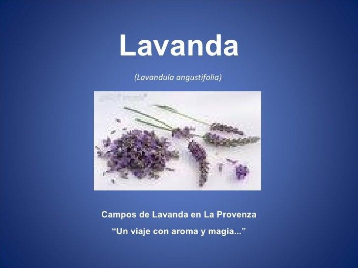 """(Lavandula angustifolia)  Campos de Lavanda en La Provenza """" Un viaje con aroma y magia..."""" Lavanda"""