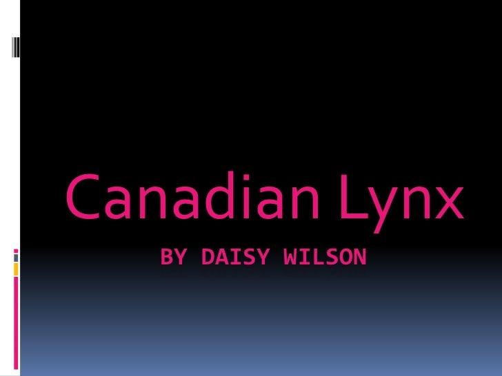 Canadian Lynx   BY DAISY WILSON