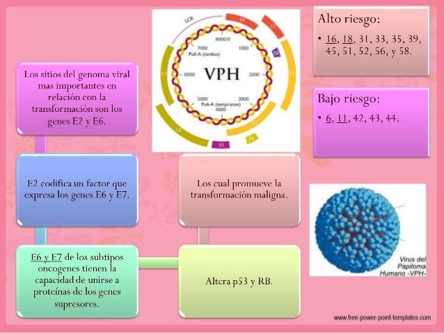 • 5% de las mujeres con IVPH contraerán CaCu. • Más del 70% de las mujeres sexualmente activas presentan IVPH. Infección p...