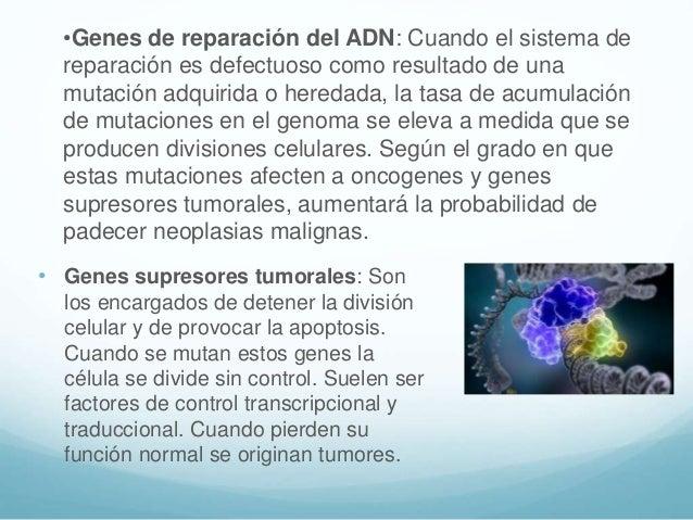 • Genes supresores tumorales: Son los encargados de detener la división celular y de provocar la apoptosis. Cuando se muta...