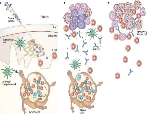 Anti tumor response of therapeutic vaccine• Administered after tumor diagnosis when tumor is interacting with  immune syst...