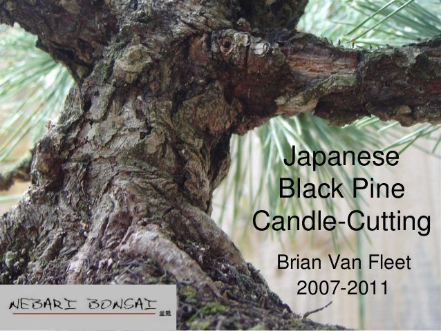 JapaneseBlack PineCandle-CuttingBrian Van Fleet2007-2011