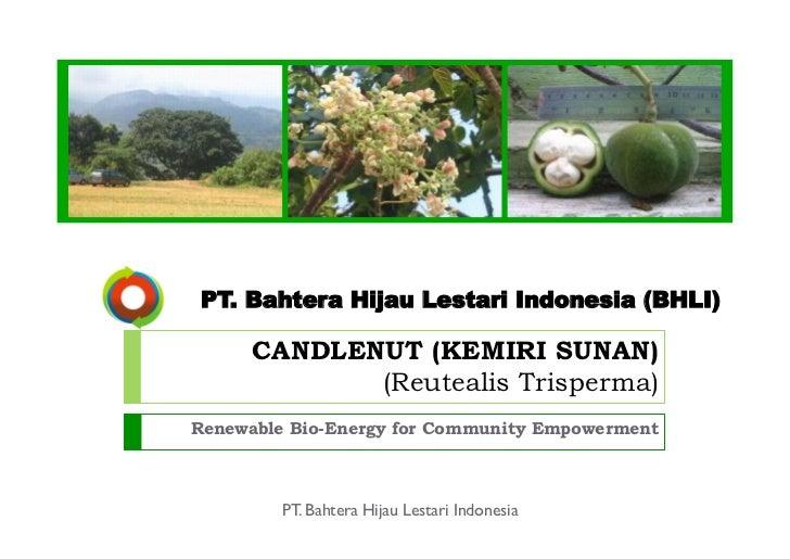 PT. Bahtera Hijau Lestari Indonesia (BHLI)      CANDLENUT (KEMIRI SUNAN)             (Reutealis Trisperma)Renewable Bio-En...