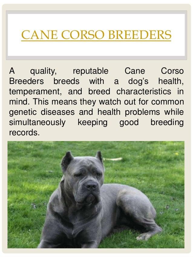 Cane Corso Good Guard Dog