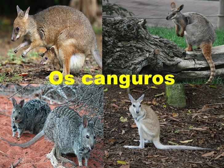 Os canguros   Os canguros