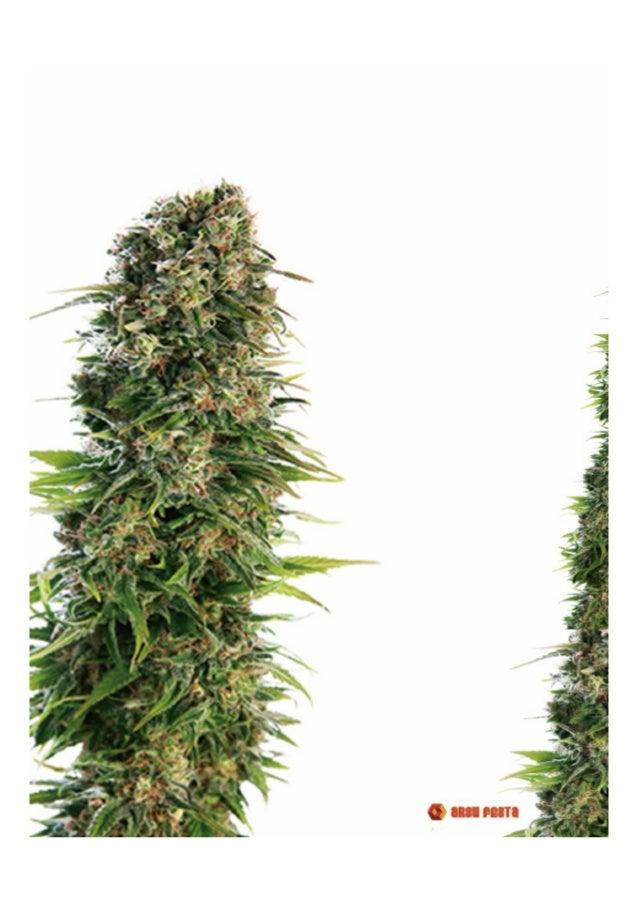 Cannabis i conducció