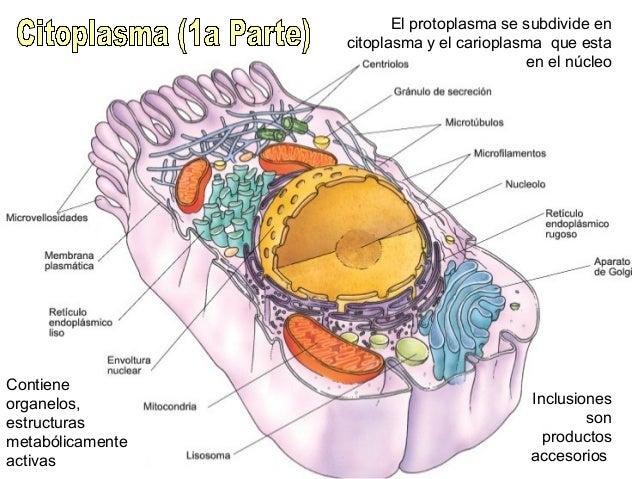 El protoplasma se subdivide en citoplasma y el carioplasma que esta en el núcleo Contiene organelos, estructuras metabólic...