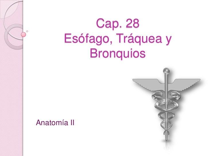Cap. 28Esófago, Tráquea y Bronquios<br />Anatomía II<br />