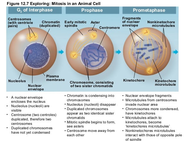 Diagram animal cell mitosis spindles wiring library cap 12 ciclo celular rh slideshare net events of mitosis diagram stages of mitosis diagram ccuart Choice Image