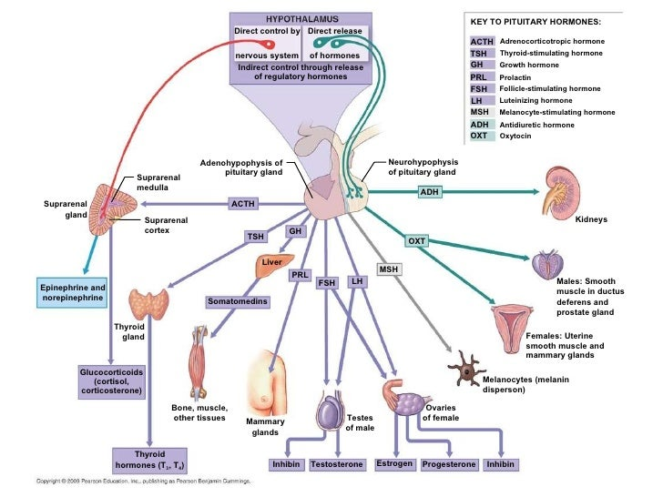 Direct control by Direct release nervous system of hormones Indirect control through release of regulatory hormones KEY TO...