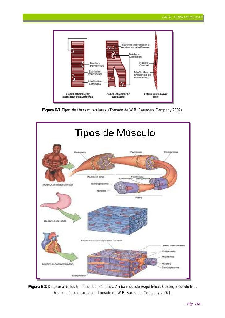 Cap%206 T%C3%89 Jido%20 Muscular%20 Final