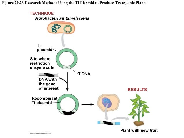 The potential of genetically modified foods to improve the nutritional value and productivity of cro
