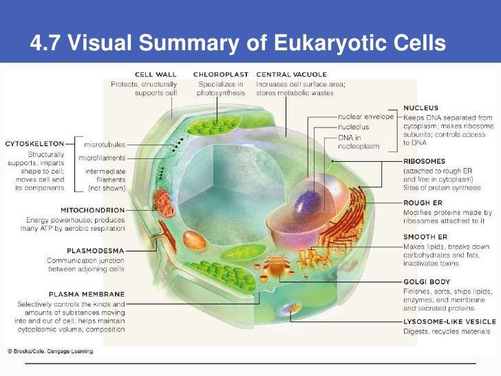 Eucariota animal funcion exponencial