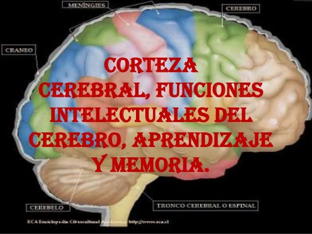 CORTEZA CEREBRAL, FUNCIONES INTELECTUALES DEL CEREBRO, APRENDIZAJE Y MEMORIA.