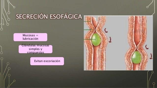 Secreciones tubo digestivo