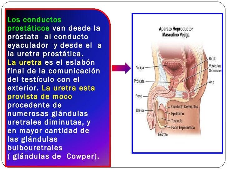 FUNCION DE LA PROSTATA PDF DOWNLOAD