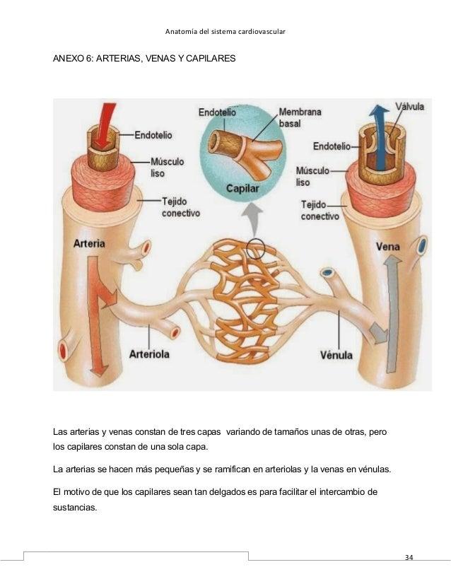 Excepcional Anatomía Venas Y Arterias Fotos - Imágenes de Anatomía ...