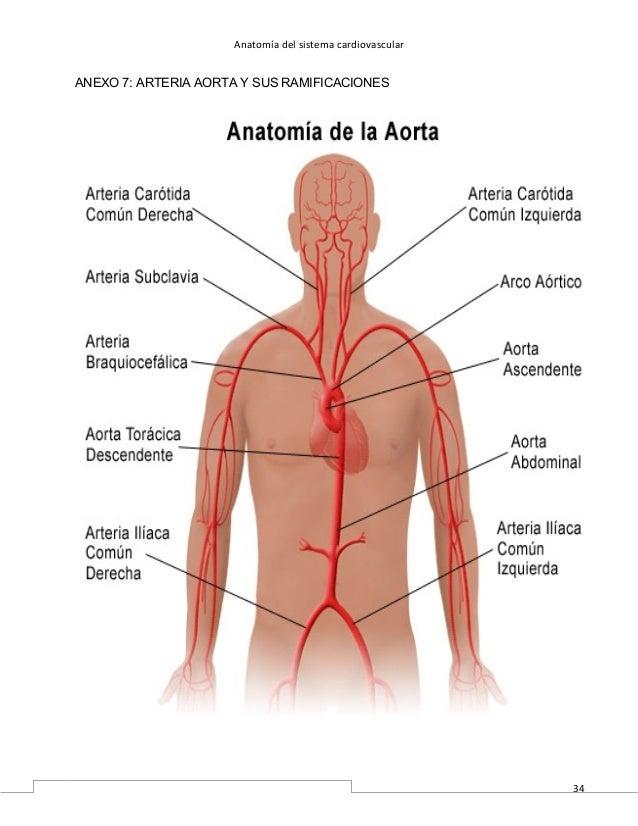 Increíble Anatomía De La Aorta Y Ramas Inspiración - Anatomía de Las ...
