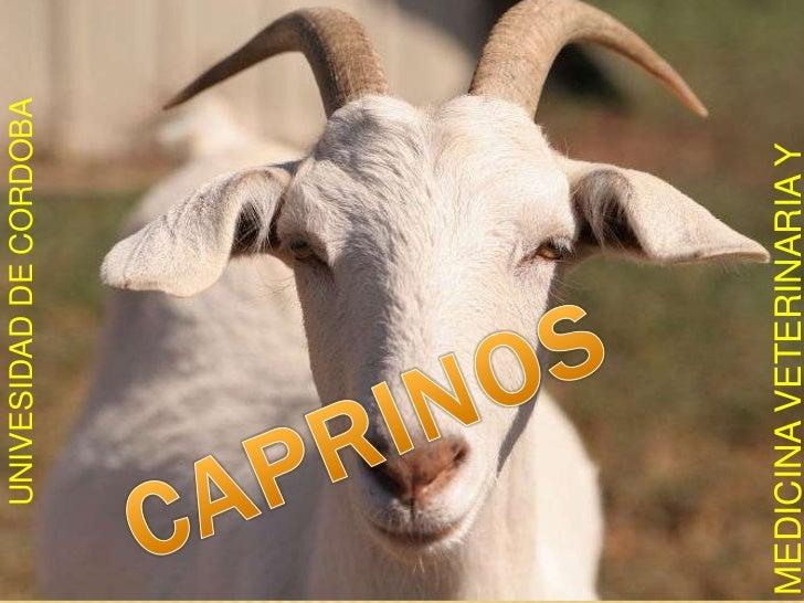 MEDICINA VETERINARIA Y ZOOTECNIA<br />UNIVESIDAD DE CORDOBA<br />CAPRINOS<br />