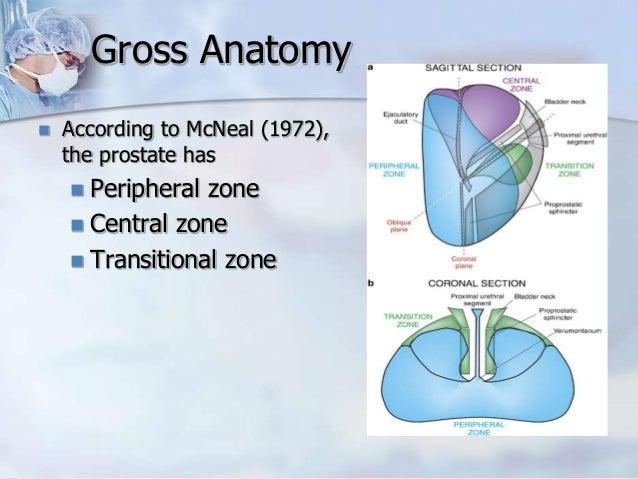 Prostate Lobes Anatomy
