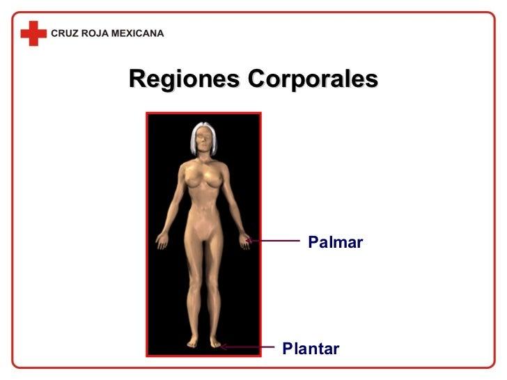 Regiones Corporales Palmar Plantar