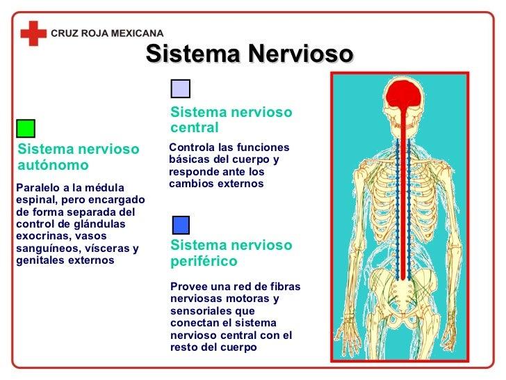 Sistema Nervioso  Sistema nervioso periférico Provee una red de fibras nerviosas motoras y sensoriales que conectan el sis...