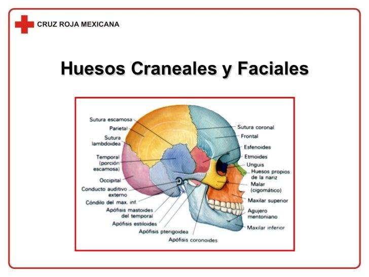 Huesos Craneales y Faciales