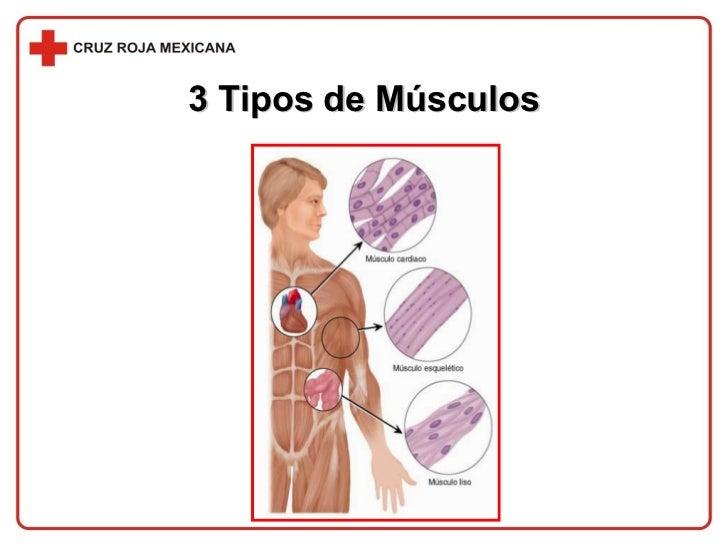 3 Tipos de Músculos