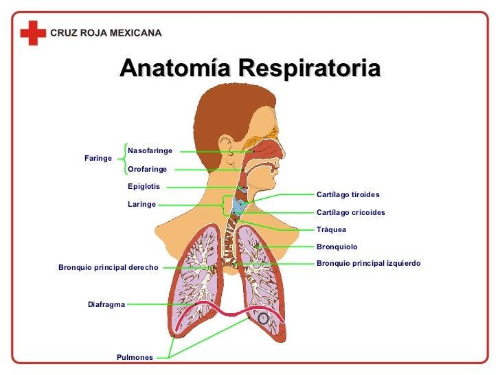 Anatomía Respiratoria Nasofaringe Orofaringe Bronquio principal derecho Faringe Cartílago tiroides Cartílago cricoides Epi...