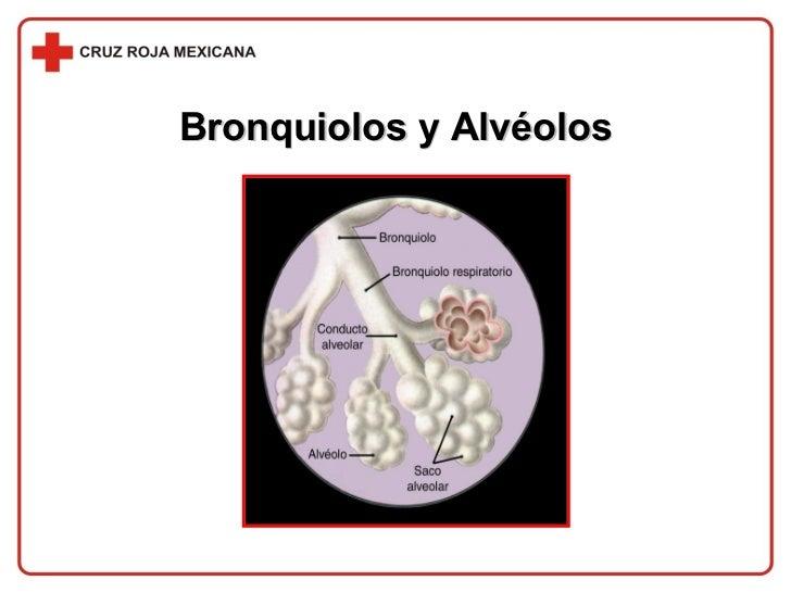 Bronquiolos y Alvéolos