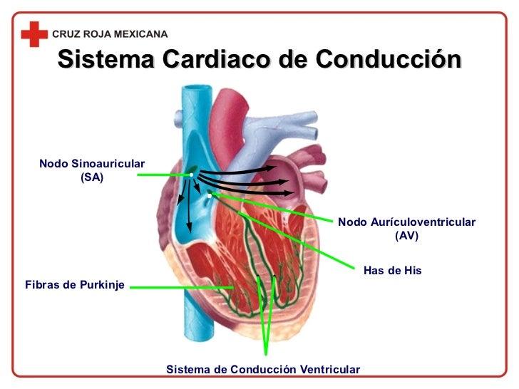 Sistema Cardiaco de Conducción Nodo Sinoauricular (SA) Nodo Aurículoventricular (AV) Sistema de Conducción Ventricular Fib...