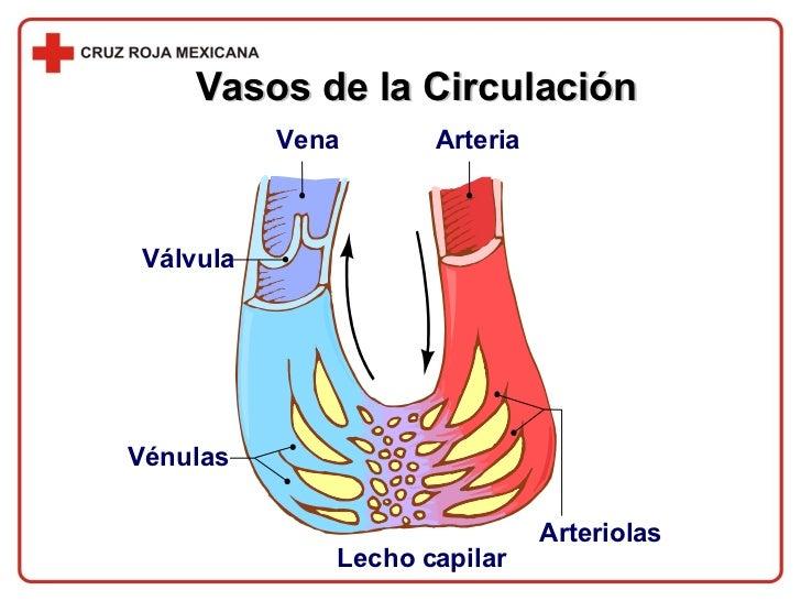 Vasos de la Circulación Válvula Vena Arteria Arteriolas Lecho capilar Vénulas