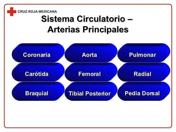 Sistema Circulatorio –  Arterias Principales Coronaria Aorta Pulmonar Carótida Femoral Radial Braquial Tibial Posterior Pe...