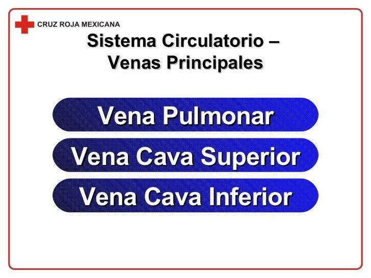 Sistema Circulatorio –  Venas Principales Vena Pulmonar Vena Cava Superior Vena Cava Inferior