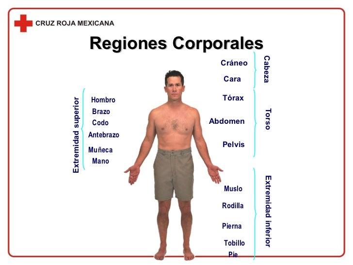 Regiones Corporales Hombro Brazo Codo Antebrazo Muñeca Mano Pie Tobillo Pierna Rodilla Muslo Pelvis Abdomen Tórax Cráneo C...