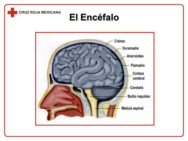 El Encéfalo