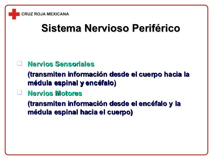 Sistema Nervioso Periférico <ul><li>Nervios Sensoriales   </li></ul><ul><li>(transmiten información desde el cuerpo hacia ...