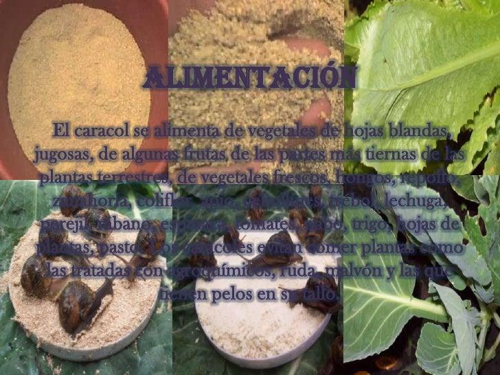 Caracoles 2 for Caracol de jardin alimentacion