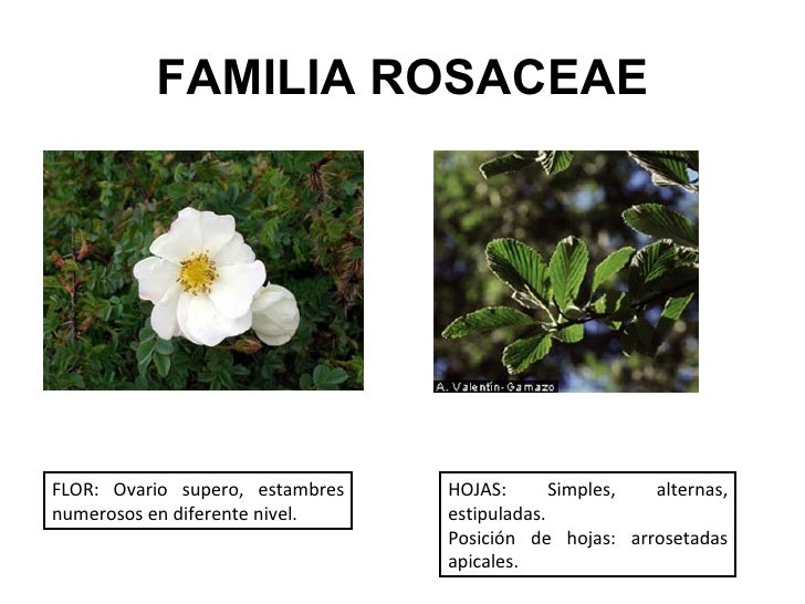 Caracteres Diagnosticos De Familias De Plantas