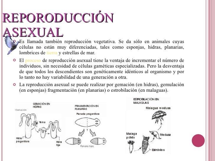 Lombriz de tierra reproduccion asexual gemacion